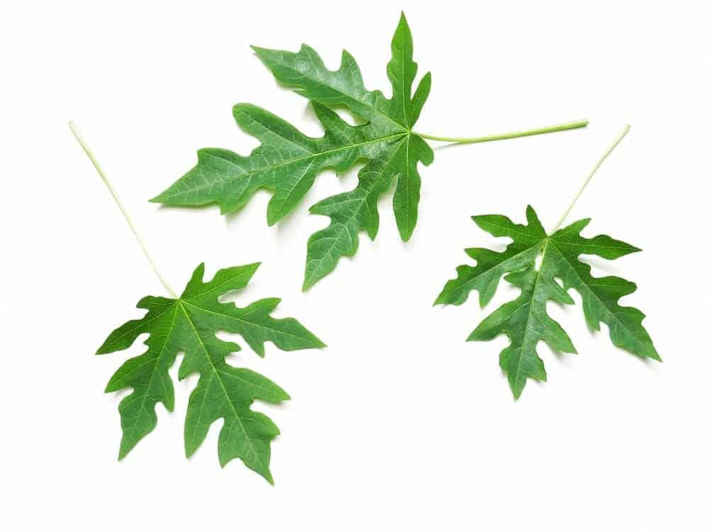 Akesi Bio-Fermented Tonics have a fermented based containing papaya fruit and papaya leaves.